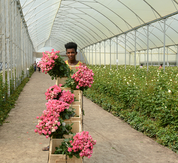 Ethiopia Earned 230 Million USD from Horticulture Export