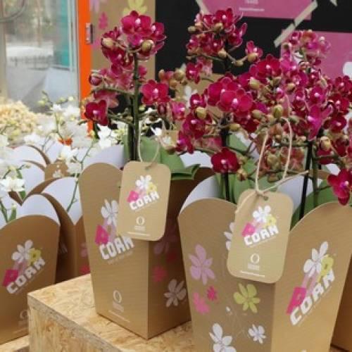 Dümmen Orange launches new phalaenopsis label 'Popcorn'