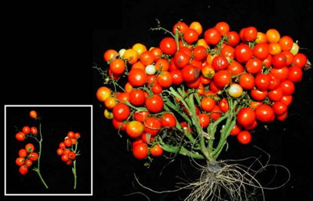 US (NY): A new tomato ideal for urban gardens and even outer space
