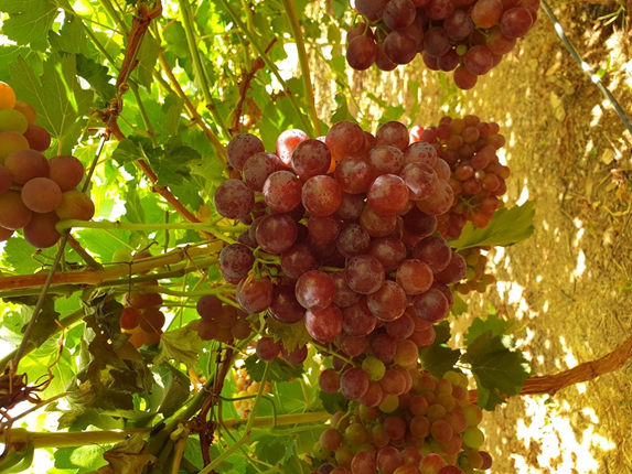 European table grape market becomes stronger than last year