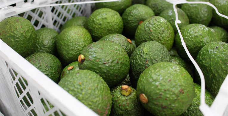 EU Avocado Market: Large Hass to Remain Scarce amid Strong Green Skinned Demand